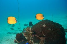 Butterfly fish lurking around the corals in Koh Tao.