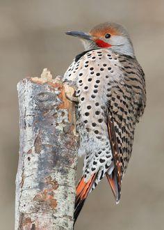 Northern Flicker Most Beautiful Birds, Pretty Birds, Kinds Of Birds, Birds 2, Beautiful Creatures, Animals Beautiful, Ontario Birds, Northern Flicker, Bird Migration