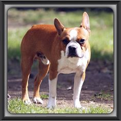 Bailey boy #bostonterrier #bostonterriercult #bostonterrierpuppy #balljunkie #bostonterrierlife #bestfriend #boatonterrierpics #ilovemybostonterriers #bostonbuddies #redbostonterrier #bostonterrierqt #aplacetolovedogs  #bostonterrierfaces #bostonterrierexpressions #bostonterrierpersonalities #lifeanddog #bostonterrierwho_me_look #Padgram