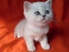 Silver shaded British Shorthair kitten