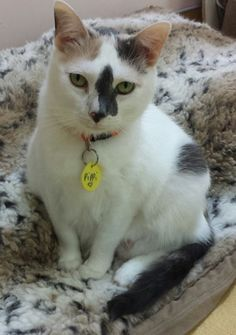 Pippi - I am a 5yr Dilute Calico. I am a bit shy at (busy) Animalkind, but I enjoy the company of other cats :)  ADOPT ME!  http://www.animalkind.info/content/Adoption_Application/Adoption_Application