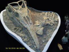Amazing Mosasaur Skull http://www.fossilshack.com/skulls.html
