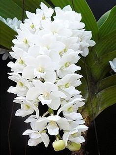 Rhynchostylis Gigantea White - Raiz aérea - Jardim Exótico - O maior portal de…