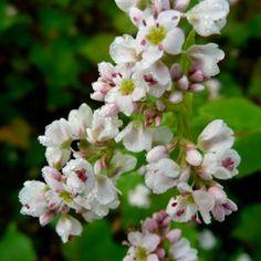 Boekweit bloemetjes - Fagopyrum esculentum - Eetbare Bloemetjes
