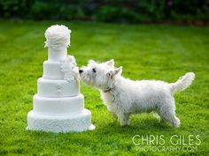 Who doesn't love a westie?  Maybe the bride and groom whose cake he's about to eat...  http://chrisgilesphotography.com/