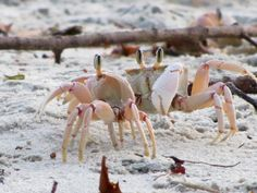 crabs on the beach in Bagamoyo, TZ