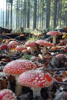 forest floor covered in fly agaric fungi