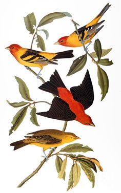 John James Audubon. (1827). Sadly, because of the lack of photography, and the fact that birds don't sit well for portraits, he had to have his subjects stuffed and mounted before he painted them.