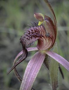 Tailed-Spider Orchid: Caladenia caudata -  Endemic to Tasmania, Australia