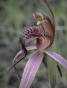 Tailed-Spider Orchid: Caladenia caudata - Vulnerable and Endemic to Tasmania, Australia
