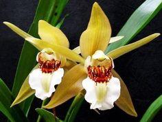 Orquídea Coelogyne lawrenceana - Adulta - Jardim Exótico - O maior portal de mudas do Brasil.