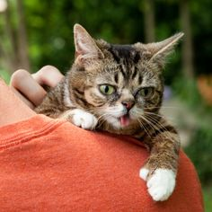"""Bub has dwarfism, leaving her with shortened limbs, a long, slender body, and permanently kittenlike features. She has no teeth and an underdeveloped lower jaw -- hence the endearing tongue situation. And she's polydactyl, meaning she has an extra toe on each back foot and opposable """"thumbs"""" on the front."""