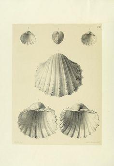 Mollusques tertiaires du Portugal :. Lisbonne :Imprimerie de l'Academie royale des sciences,1903-04..