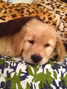Awwww the little golden retriever puppy is trying to sleep.for more visit http://www.dogspot.in/