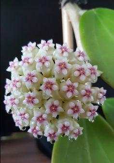 Hoya pachyclada X Hoya sp.Bangkok#4 3th time flowering.