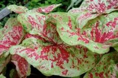 "This Caladium ""Raspberry Moon"" looks fabulous in planters.  $10.45"