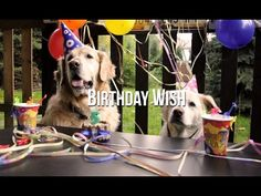 Birthday Wish Golden Retriever