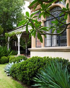 Cloudy deep green foliage of the rhaphiolepis contrasts with the grey strappiness of the Mexican lily Tropical Garden Design, Tropical Backyard, Small Backyard Gardens, Planting Shrubs, Garden Shrubs, Shade Garden, Easy To Grow Bulbs, Hillside Landscaping, Colorful Plants