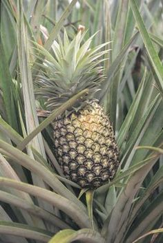 If you have a pineapple (Ananas comosus) in your yard, you'll probably get anxious when you don't start to see blooms appear as cooler temperatures approach. Pineapples, well suited to U.S. ...