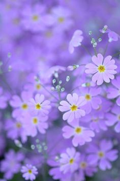 Beautiful lilac colored flowers w/ white and yellow centers that are star shaped.