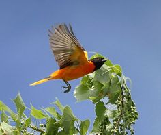 baltimore oriole bird images - Google Search | birdcarving ...