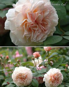 Rosa 'A Shropshire Lad' - David Austin Climbing Rose