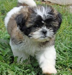 shih tzu puppy....aww....looks like my cody bear when he was little....