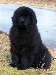 Vercordias Kyandro Newfoundland Dogbreedslarge With Images