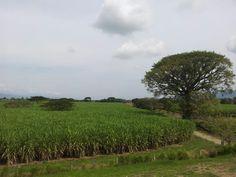 Cañabuzales en el Valle del Cauca