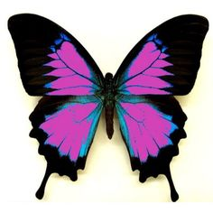 Pink, Black and Blue Butterfly