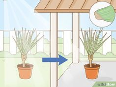 5 Ways to Care for a Madagascar Dragon Tree - wikiHow Dragon Tree Plant, Madagascar Dragon Tree, Green Bedroom Decor, Low Maintenance Indoor Plants, Old Trees, Prim Christmas, Colorful Trees, Winter Trees, Scandinavian Christmas