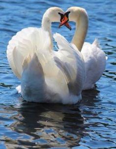 Swans mates for life. Swan Love, Beautiful Swan, Beautiful Birds, Animals Beautiful, Animals And Pets, Baby Animals, Cute Animals, Swans, Swan Pictures