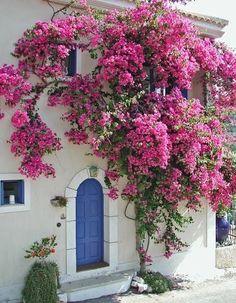 Blue door with Bougainvillea Bougainvillea Trellis, Beautiful Flowers, Beautiful Places, Flowers Nature, Flowering Vines, Exotic Plants, Garden Gates, Beautiful Gardens, Garden Landscaping