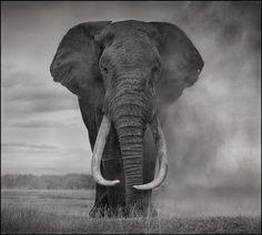 da00bf8e8d7 14   20 display additional info Nick Brandt Portrait of Elephant in Dust