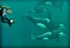 Dr. Ingrid Visser photographic orcas in New Zealand - swimming with the orcas...