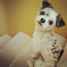Chihuahua shihtzu mix so cute