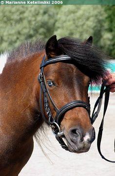 Kydon Geisha - Shetland Pony mare