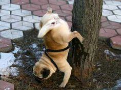Pugs why you do this? Is it to make it look like a larger dog has pissed on the tree? Funny Dog Videos, Funny Dogs, Funny Animals, Cute Animals, Funny Puppies, Animal Funnies, Dog Funnies, Funny Fails, Pug Photos