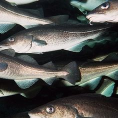 "News at Instagram @TheCVF Water too warm for cod in US Gulf of Maine as stocks near collapse ""A rapid warming of the Gulf of Maine off the eastern United States has made the water too warm for cod pushing stocks towards collapse despite deep reductions in the number of #fish caught a US study has shown. The Gulf of Maine had warmed faster than 99% of the rest of the worlds #oceans in the past decade influenced by shifts in the Atlantic Gulf Stream changes in the Pacific Ocean and a wider…"