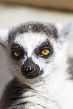 Ring-tailed lemur by yasa_, via Flickr