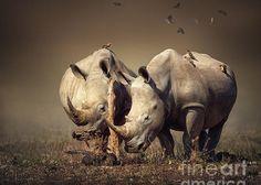 Rhino's with birds Greeting Card by Johan Swanepoel