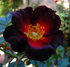 A rare rose!  It's alive look----> It breaths from the center and has a velvet beauty to it.