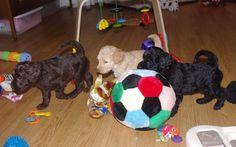 Rainbow Trio of Australian Labradoodle Puppies!