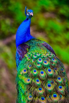 India-Blue Peacock [Pavo cristatus] ...........click here to find out more http://googydog.com