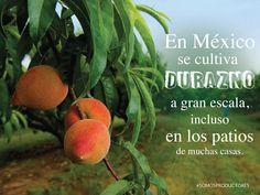 En México se cultiva durazno a gran escala, incluso en los patios de muchas casas. SAGARPA SAGARPAMX #SomosProductores