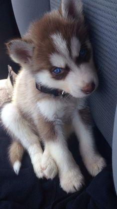 Cute Husky Puppies, Super Cute Puppies, My Husky, Cute Baby Dogs, Husky Puppy, Huskies Puppies, Baby Animals Pictures, Cute Animal Pictures, Animals And Pets