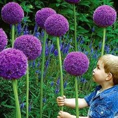 Globemaster Allium - they're Dr. Seuss flowers!  i drive past a house that has these every day...they're so eye catching and cool!