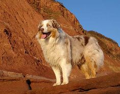 The Shetland Sheepdog originated in the and its ancestors were from Scotland, which worked as herding dogs. These early dogs were fairly American Shepherd, Australian Shepherd Dogs, I Love Dogs, Cute Dogs, Dog Dna Test, Aussie Dogs, Mini Aussie, Shetland Sheepdog Puppies, Cute Dog Photos