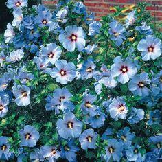 Blue rose of Sharon