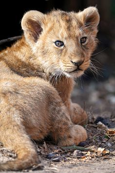 baby lion Stunning Baby Animals Photography Inspiration In a dream world this would be my pet! Beautiful Cats, Animals Beautiful, Cute Baby Animals, Animals And Pets, Wild Animals, Big Cats, Cats And Kittens, Cute Lion, Exotic Pets